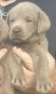 Labrador Retriever Puppy For Sale in PEARSALL, TX