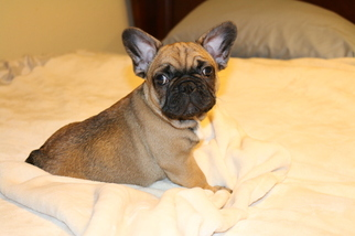 French Bulldog Puppy For Sale in SACRAMENTO, CA