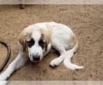 Small #13 Anatolian Shepherd-Maremma Sheepdog Mix