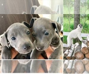Italian Greyhound Puppy for sale in RANCHO BERNARDO, CA, USA