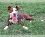 Small #137 American Pit Bull Terrier-German Shorthaired Pointer Mix