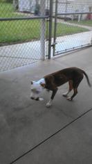 Siesta - Pit Bull Terrier Dog For Adoption