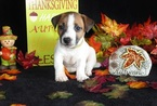 Jack Russell Terrier Puppy For Sale in AMITY, AR,