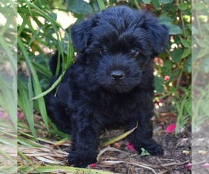 Yorkie-Poo Puppy for sale in PAXINOS, PA, USA