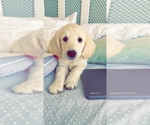Golden Retriever Puppy for sale in WACO, TX, USA