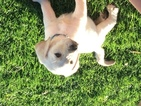 Labrador Retriever Puppy For Sale in ECHO, OR, USA