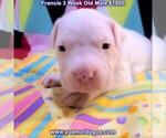 Puppy 3 Dogo Argentino