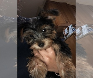 Yorkshire Terrier Puppy for sale in DURHAM, NC, USA