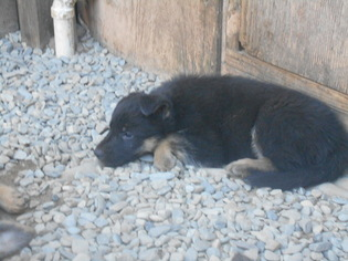 German Shepherd Dog Puppy For Sale in HAMMONTON, NJ, USA
