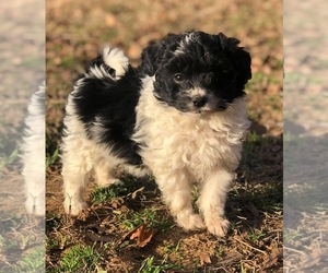Pomeranian-Poodle (Toy) Mix Puppy for Sale in CADDO, Oklahoma USA