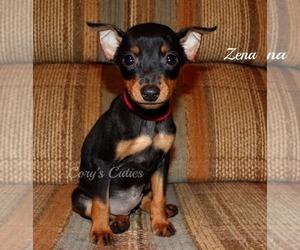 Miniature Pinscher Puppy for sale in ELKLAND, MO, USA