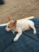 Australian Cattle Dog Puppy For Sale in LAKESIDE, CA, USA