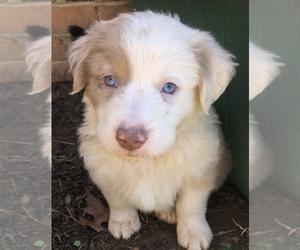 Miniature Australian Shepherd Puppy for Sale in FERRUM, Virginia USA