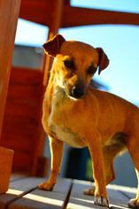 Tasha COURTESY POST - Chihuahua Dog For Adoption