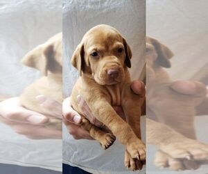 Vizsla Puppy for Sale in SAINT HELENS, Oregon USA