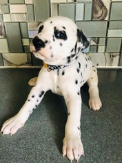 Dalmatian Puppy For Sale in ASHEBORO, NC, USA