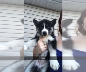 Siberian Husky Puppy for sale in WATERTOWN, TN, USA