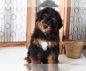Bernedoodle Puppy for Sale in NAPLES, Florida USA
