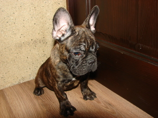 French Bulldog Puppy for sale in TRYON, NC, USA