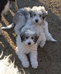 Great Pyrenees-Komondor Mix Puppy For Sale in GERALD, MO