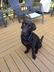Labrador Retriever Puppy For Sale in CANDLER, NC,