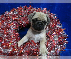 Pug Puppy for sale in NORWOOD, MO, USA