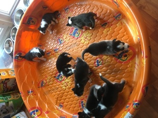 Siberian Husky Puppy for sale in ROCHELLE, IL, USA