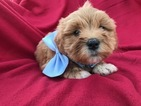 Havanese-Poodle (Toy) Mix Puppy For Sale in KIRKWOOD, PA, USA