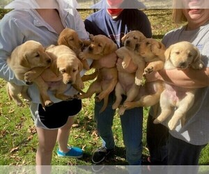 Labrador Retriever Puppy for sale in BOONVILLE, MO, USA