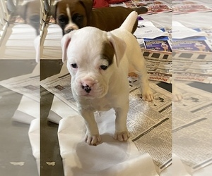 Boxer Puppy for Sale in LEWISTOWN, Pennsylvania USA
