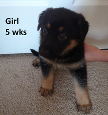 German Shepherd Dog Puppy For Sale in JOHNS ISLAND, SC