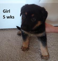 German Shepherd Dog Puppy For Sale in JOHNS ISLAND, SC, USA
