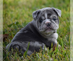 Puppy 6 Olde English Bulldogge