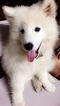 Samoyed Puppy For Sale in MANTECA, CA, USA