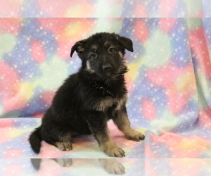 German Shepherd Dog Puppy for sale in JOICE, IA, USA