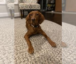 Irish Setter Dog for Adoption in MILLERSVILLE, Maryland USA
