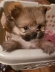 Yoranian Puppy For Sale in JACKSONVILLE, FL, USA