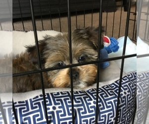 Shorkie Tzu Puppy for sale in COLUMBUS, OH, USA