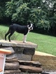 Boston Terrier Dog For Adoption in HARPERS FERRY, WV, USA