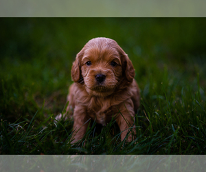 Cavapoo Puppy for Sale in CONCORD, Indiana USA