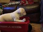Bulldog Puppy For Sale in CHELSEA, OK