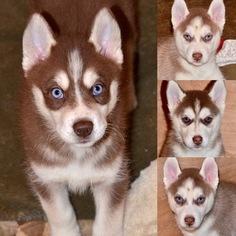 Siberian Husky Puppy For Sale in AUBURN, CA, USA