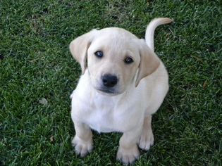 View Ad: Labrador Retriever Puppy for Sale near Minnesota