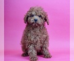 Puppy 5 Poodle (Toy)