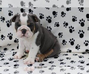 Bulldog Puppy for sale in CHESTERBROOK, PA, USA