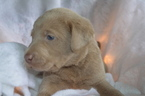 Labrador Retriever Puppy For Sale in MARION, IN,