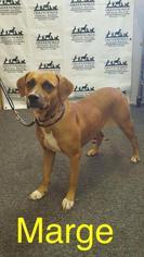 Marge - Boxer Dog For Adoption