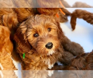 Australian Labradoodle Dog for Adoption in MILL VALLEY, California USA