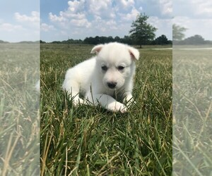 Siberian Husky Puppy for Sale in KINGSVILLE, Missouri USA
