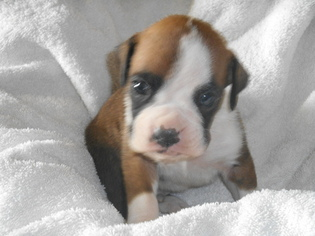 Boxer Puppy For Sale in EATON, CO, USA
